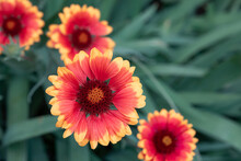 Gaillardia Aristata Red-yellow Flower In Bloom Close-up. Tinted Beautiful Art Image Of An Ordinary Flowering Plant, A Group Of Unpretentious Garden Flowers