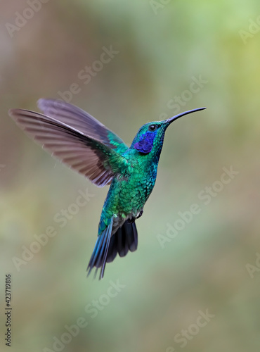 Fototapeta premium Green Violet-ear hummingbird (Colibri thalassinus) in flight isolated on a green background in Costa Rica