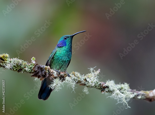 Fototapeta premium Green Violet-ear hummingbird (Colibri thalassinus) perched on a mossy branch in Costa Rica