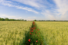 Green Wheat Field With A Poppy Path, Beautiful Sunset Scene