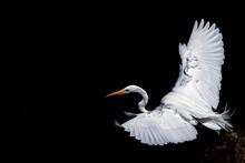 White Egret Portrait Isolated On Black Background