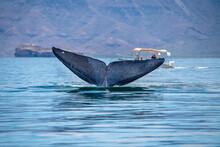 Blue Whale Watching In Baja California