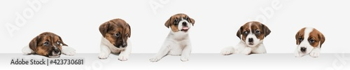 Obraz Young dog posing. Cute puppy or pet posing happy isolated on white studio background. Studio photoshots. Creative collage of different breeds of dogs. Flyer for your ad. - fototapety do salonu
