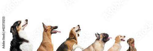 Tablou Canvas Cute doggies or pets looking happy isolated on white background