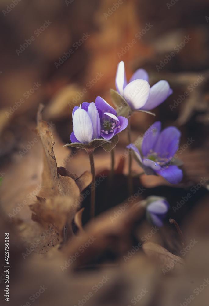 Fototapeta Wiosenne kwiaty - Przylaszczka pospolita