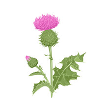 Milk Thistle Plant Isolated On White Background. Vector Illustration Of Medical Herb In Cartoon Flat Style. Wild Flower With Green Stems And Leaves.