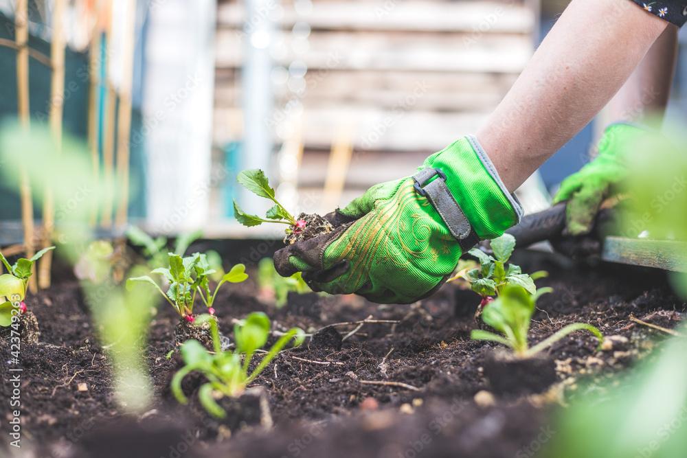 Fototapeta Urban gardening: Woman is planting fresh radish, vegetables and herbs on fruitful soil in the own garden, raised bed.