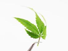 Hemp Leaf Cannabis Plant Marijuana