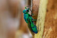 Cuckoo Wasp--Chrysidini