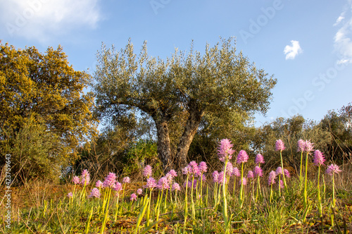 Fotografie, Obraz Orchids in an olive grove.
