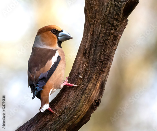Fotografie, Obraz Hawfinch, Coccothraustes coccothraustes