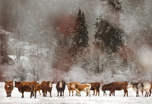 A Group Of Cows Stands Aligned Surrounded By Snow With Trees Covering The Background, In Pemberton BC, Canada.