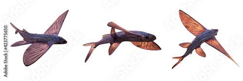 Canvas Print flying fish, set of Exocoetidae isolated on white background