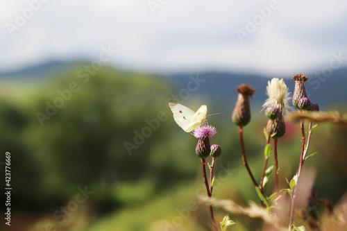 Fotografia White butterfly sits on wildflowers burdock