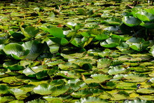Water Lily Leaves In The Pond