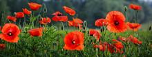 Field Of Beautiful Poppy Flowers .Spring Landscape Of Wildflowers.