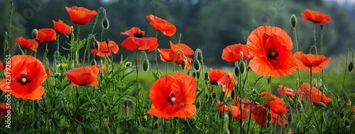Fotografie, Obraz Field of beautiful poppy flowers