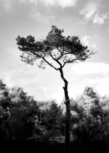 A Black And White Image Of A Fir Tree Against A Slightly Cloudy Sky, Which Has Needles Only On The Tree Top.