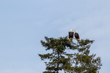 Two Bald Eagles Perched On A Tree