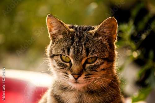 Fototapeta Dziki Kot Europejski obraz
