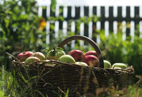 Obraz kosz dojrzałych owoców w wiejskim ogrodzie - fototapety do salonu