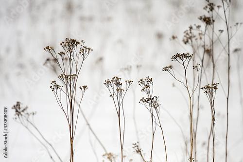 suche kwiaty i trawy na zaśnieżonej białej łące