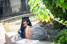 Bear With Glasses Behind The Rock, Sitting Looking Ahead
