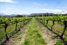 Grapevines In Rows With New Spring Growth Sprouting In Vineyard In Pokolbin Hunter Valley