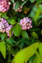 Clusters Of Pale Pink Berries On Bush In Garden