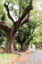 Tree Lined Camphor Laurel Street