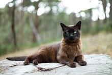 Brown Burmese Cat In Garden