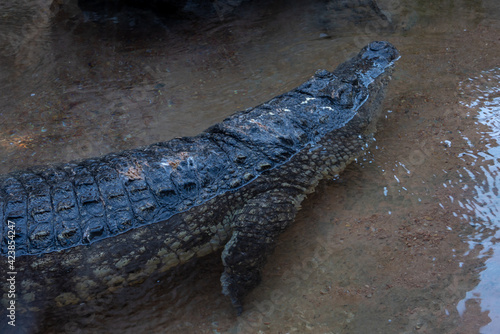 Photo VALENCIA, SPAIN - FEBRUARY 26 : Crocodile at the Bioparc in Valencia Spain on Fe