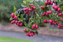 Possumhaw (Ilex Decidua And Cvs.) Fruiting In East Grinstead