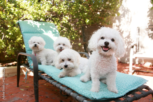 Valokuvatapetti beautiful pure breed bichon frise dogs smile as they pose for their portrait whi