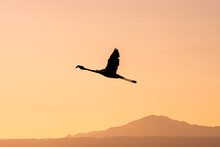 Flamingo Flying At Sunset