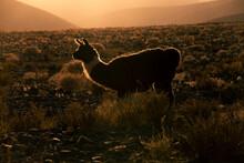 Silhouette Of A Llama