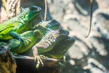 Green Iguana. Iguana - Also Known As Common Iguana Or American Iguana. Lizard Families, Look Toward A Bright Eyes Looking In The Same Direction As We Find Something New Life