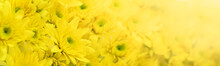 Closeup Of Yellow Mums Flower Using As Background Natural Flora, Ecology Cover Page Concept.