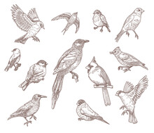 Set Of Bird Species Engraved Sketches Vector Illustration. Collection Of Hand Drawn Flying Cardinal, Sparrow, Pigeon, Eastern Bluebird, Robin Or Starling. Nature, Wild Birds, Animal Concept