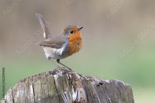 Canvas Print robin redbreast