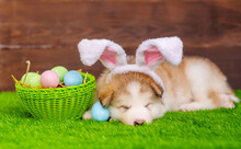Fluffy Malamute Puppy Is Watching On Green Grass In Bunny Ears Near A Basket Of Painted Eggs On The Lawn In The Backyard. Easter Hunt Concept