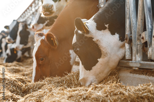 Canvas-taulu Cows standing in a stall and eating hay
