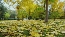 Beautiful Autumn In Outdoors. Close Up Golden Leaves Laying Down On Land In Park