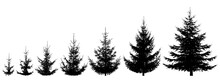 Growth Spruce Tree. Life Process Of Growing Fir Tree, Silhouette. Vector Illustration