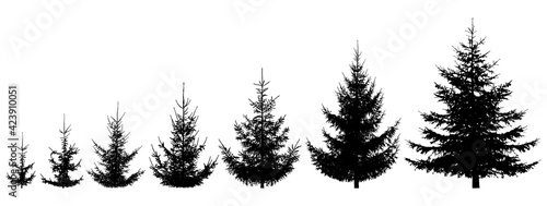 Fotografie, Tablou Growth spruce tree