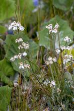Flowerhead Of A Common Yarrow (Achillea Millefolium L.) Blooming In The Dolomites