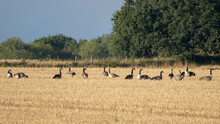 Greylag Geese (Anser Anser) Resting In A Recently Harvested Wheat Field
