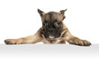 canvas print picture - Young brown French Bulldog playing isolated on white studio background