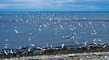 Flock Of Seagulls On The Beach Of Magdalena Island In Magellan Straight