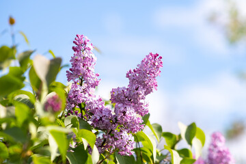 Violet vibrant lilac bush with blooming buds in spring garden.